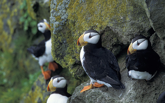 Puffins on St. Paul Island Alaska