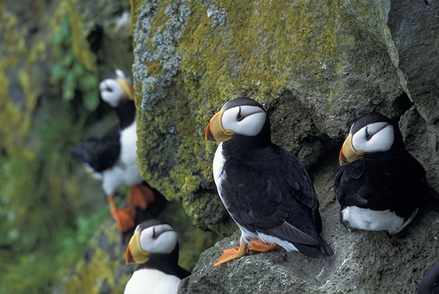 Horned puffins (Fratercula corniculata) on St. Paul Island