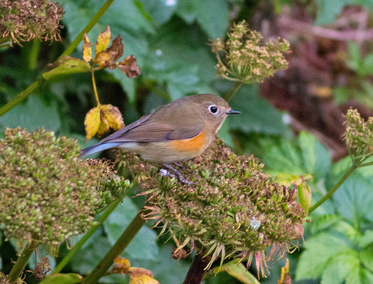 Red-flanked Bluetail, Tarsiger cyanurus