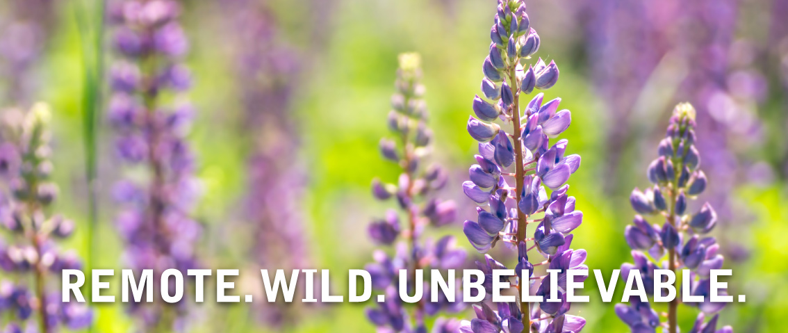 wildflowers lupine