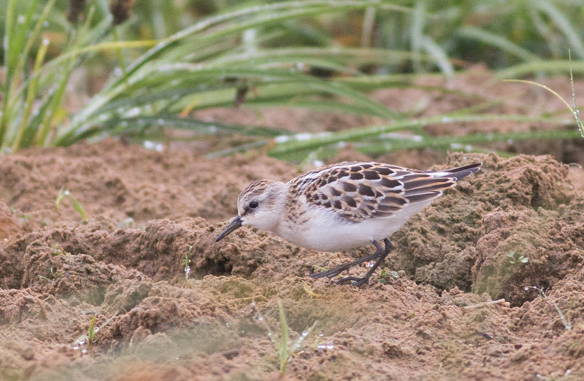 Juvenile Little Stint, Calidris minuta