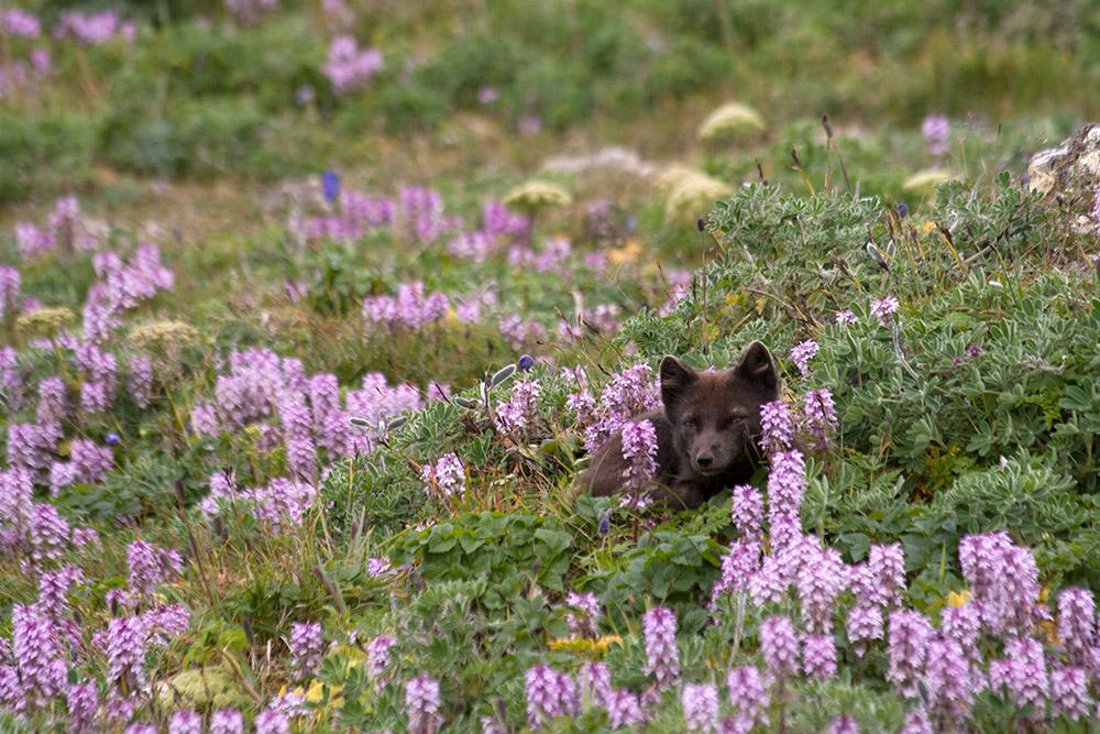 Arctic Fox 5b - Wildflowers