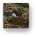 Bird nesting on St. Paul Island.