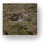 Shorebird with winter plumage.
