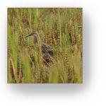 Bird hidden in a grassy field.
