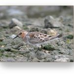 Red-necked Stint on gravel..