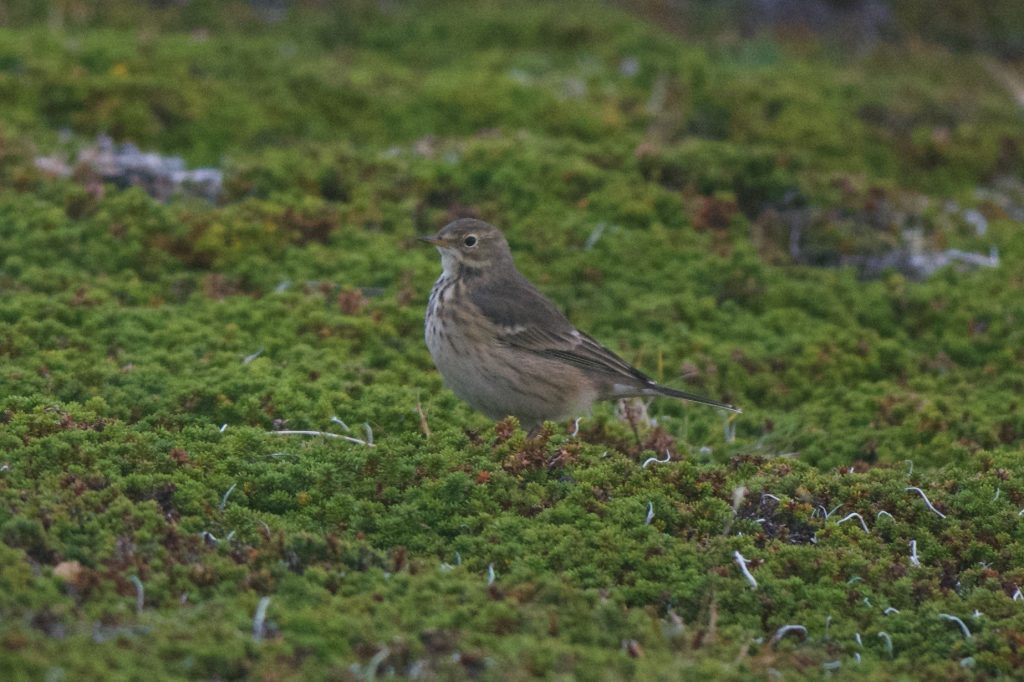 American Pipit 2 by Cory Gregory 1024x682 - American Pipit