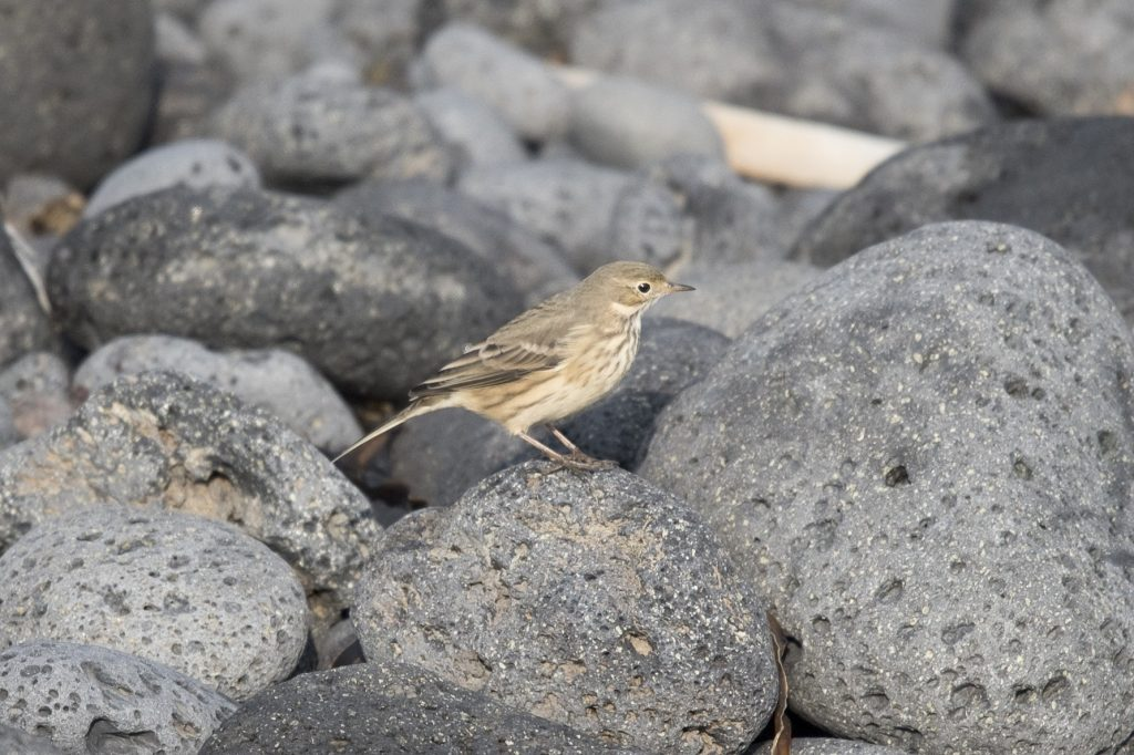 American Pipit by Aaron Lang 1024x682 - American Pipit