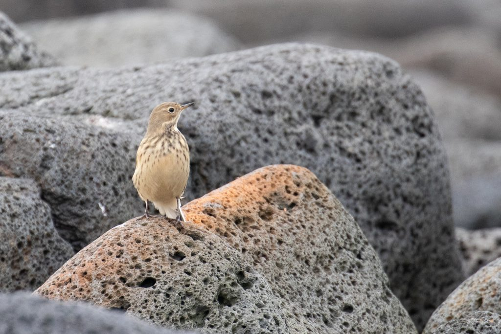 American Pipit by Sulli Gibson 1024x683 - American Pipit
