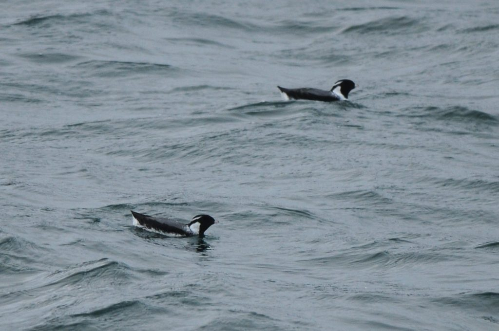 Ancient Murrelet by Cory Gregory 1024x680 - Ancient Murrelet