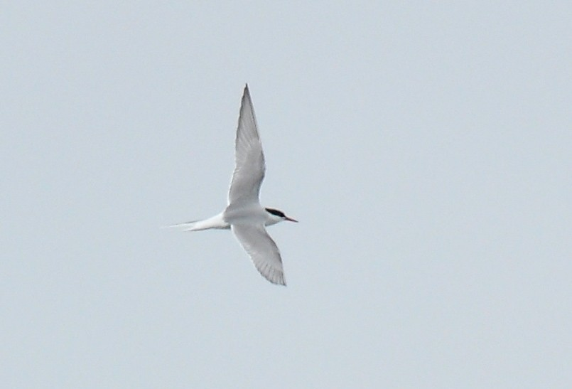 Arctic Tern by Ryan P. ODonnell - Arctic Tern
