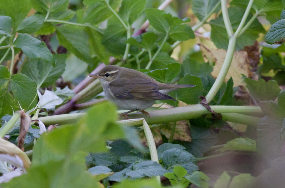 Arctic Warbler by Michael Todd - Arctic Warbler