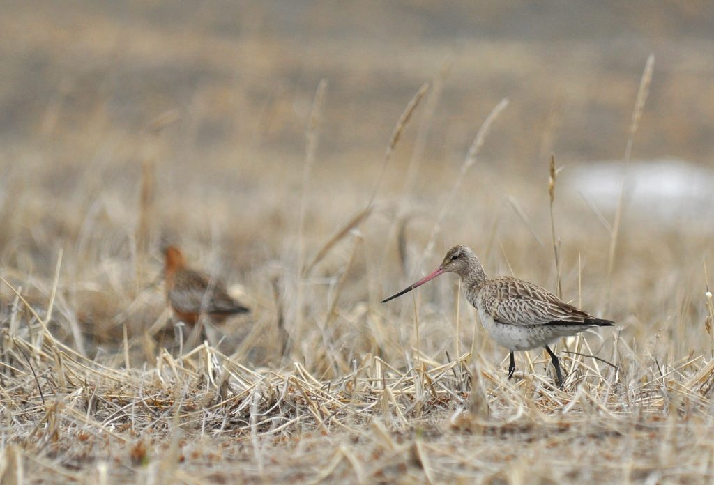Bar tailed Godwit by Ryan P. ODonnell 1024x696 - Bar-tailed Godwit