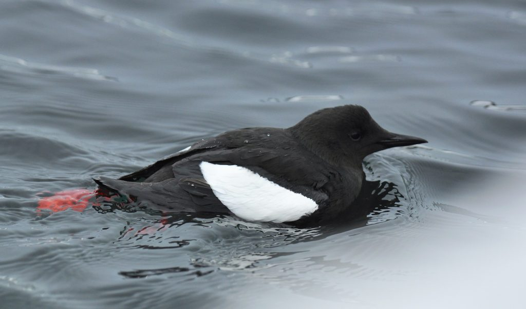 Black Guillemot by Ryan P. ODonnell 1024x601 - Black Guillemot