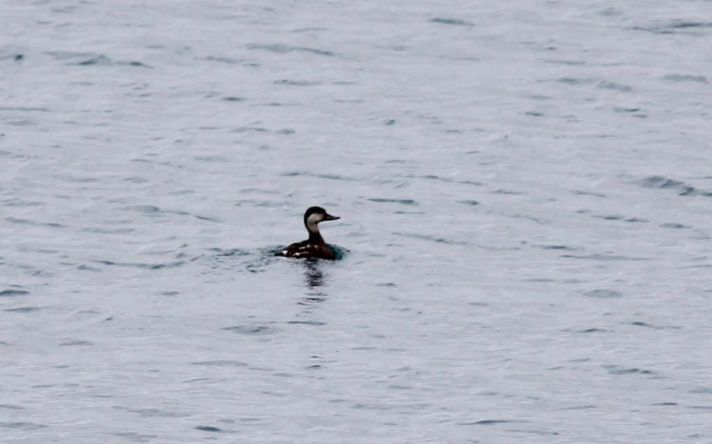 Black Scoter by Stephan Lorenz 1024x639 - Black Scoter
