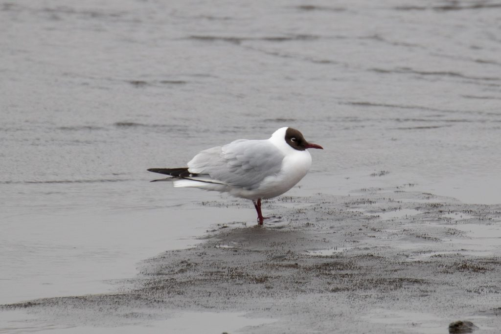 Black headed Gull by Sulli Gibson 1024x683 - Black-headed Gull