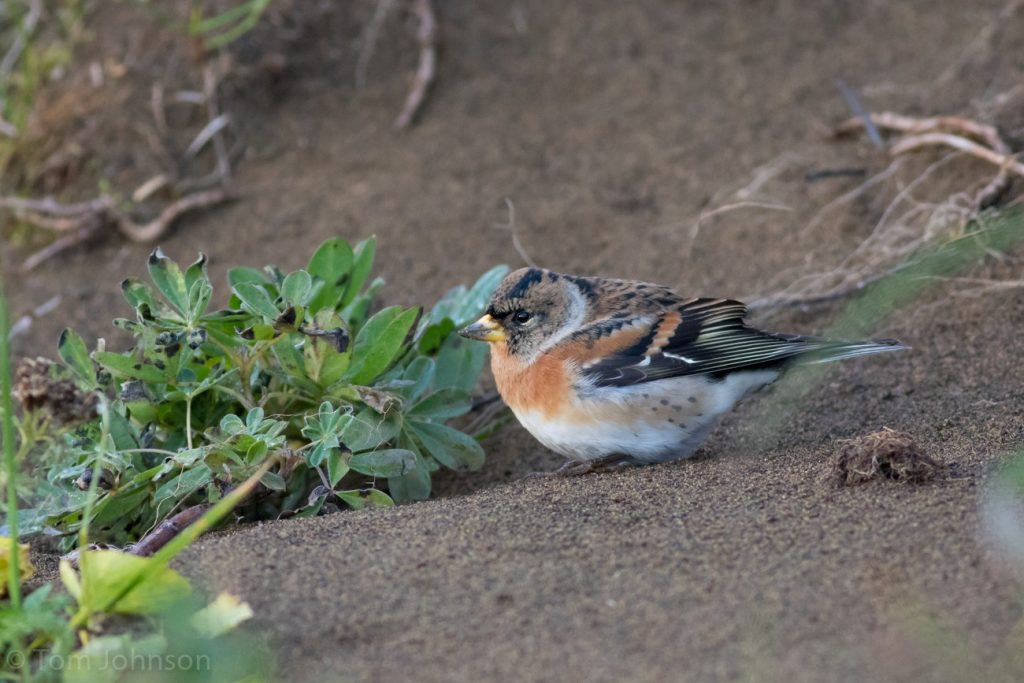 Brambling 2 by Tom Johnson 1024x683 - Brambling