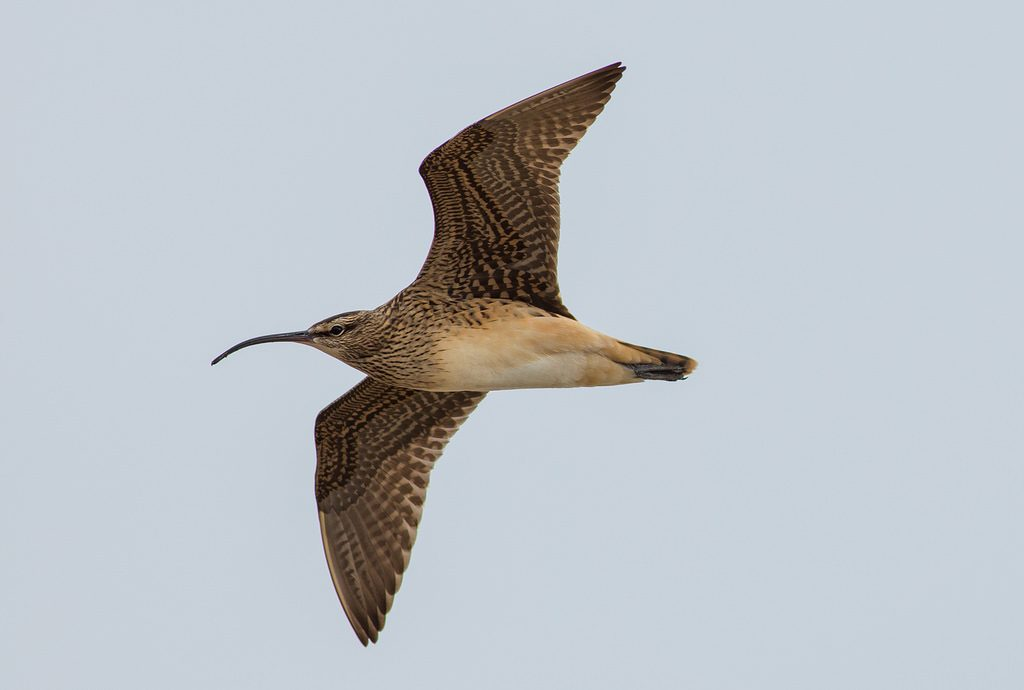 Bristle thighed Curlew by Doug Gochfeld 1024x690 - Bristle-thighed Curlew