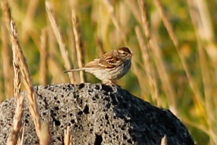 Chipping Sparrow by Stephan Lorenz - Chipping Sparrow
