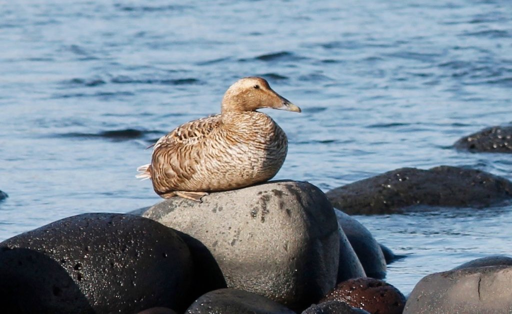 Common Eider by Stephan Lorenz  1024x629 - Common Eider
