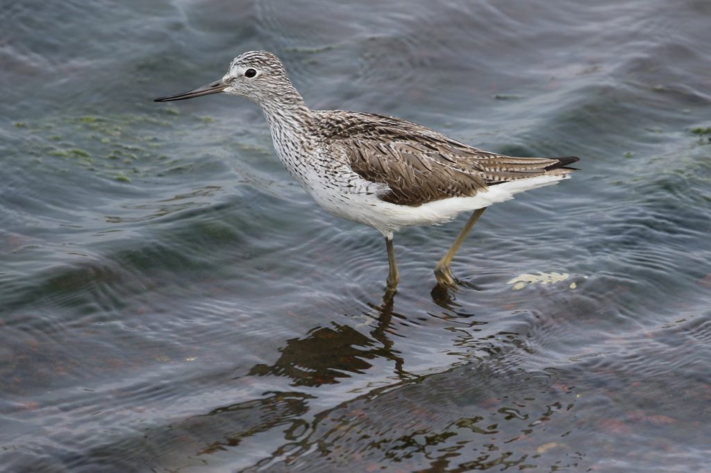 Common Greenshank by Liam Singh 1024x682 - Common Greenshank