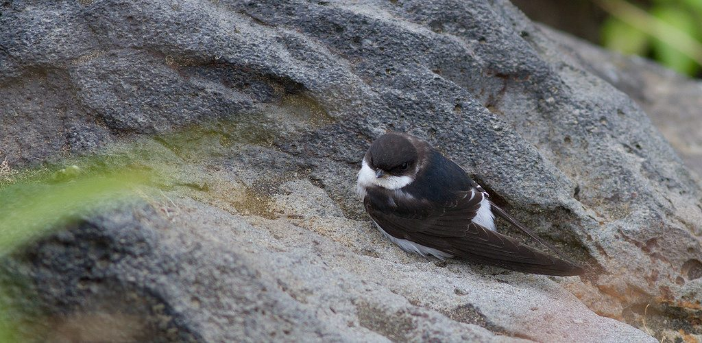 Common House Martin 2 by Doug Gochfeld 1024x500 - Common House-Martin