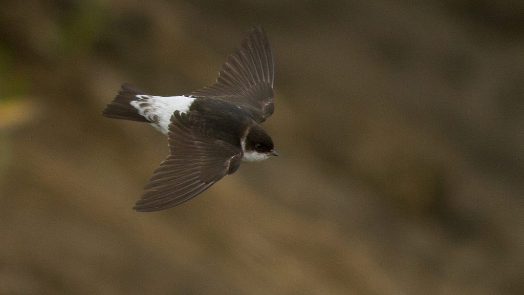 Common House Martin by Doug Gochfeld 1024x576 - Common House-Martin