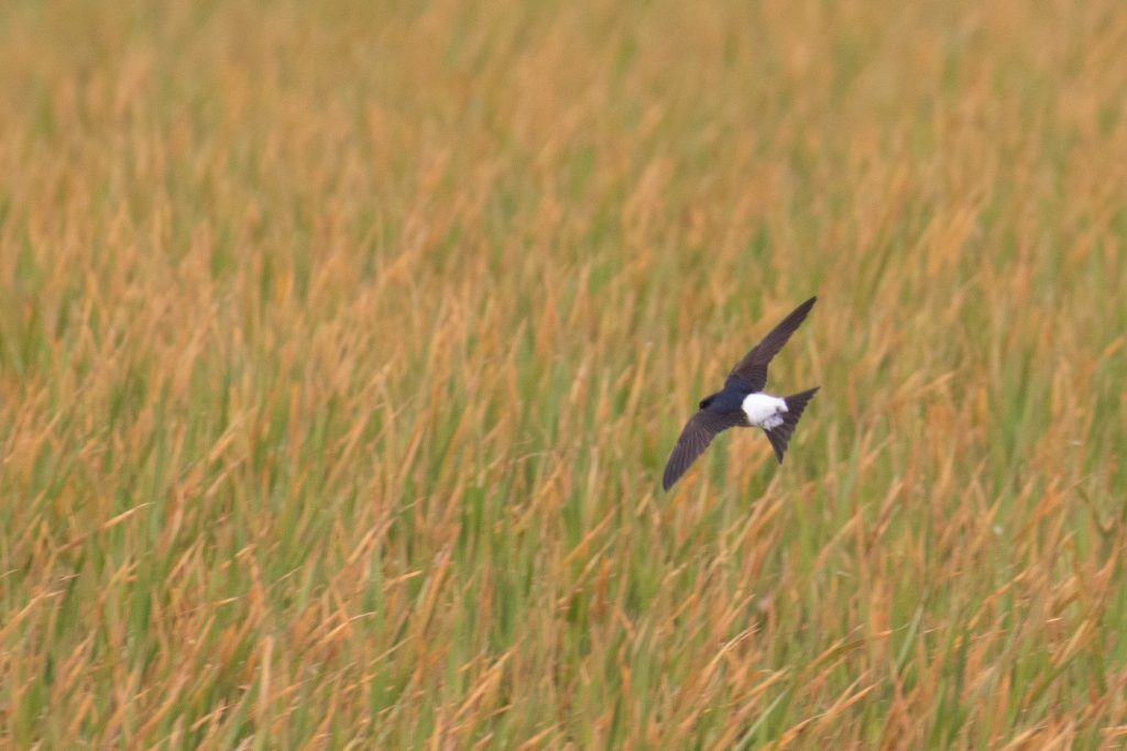 Common House Martin by Sulli Gibson 1 1024x683 - Common House-Martin