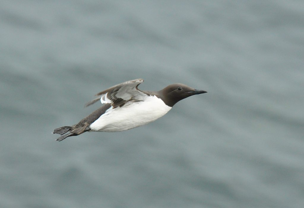 Common Murre 2 by Ryan P. ODonnell 1024x701 - Common Murre