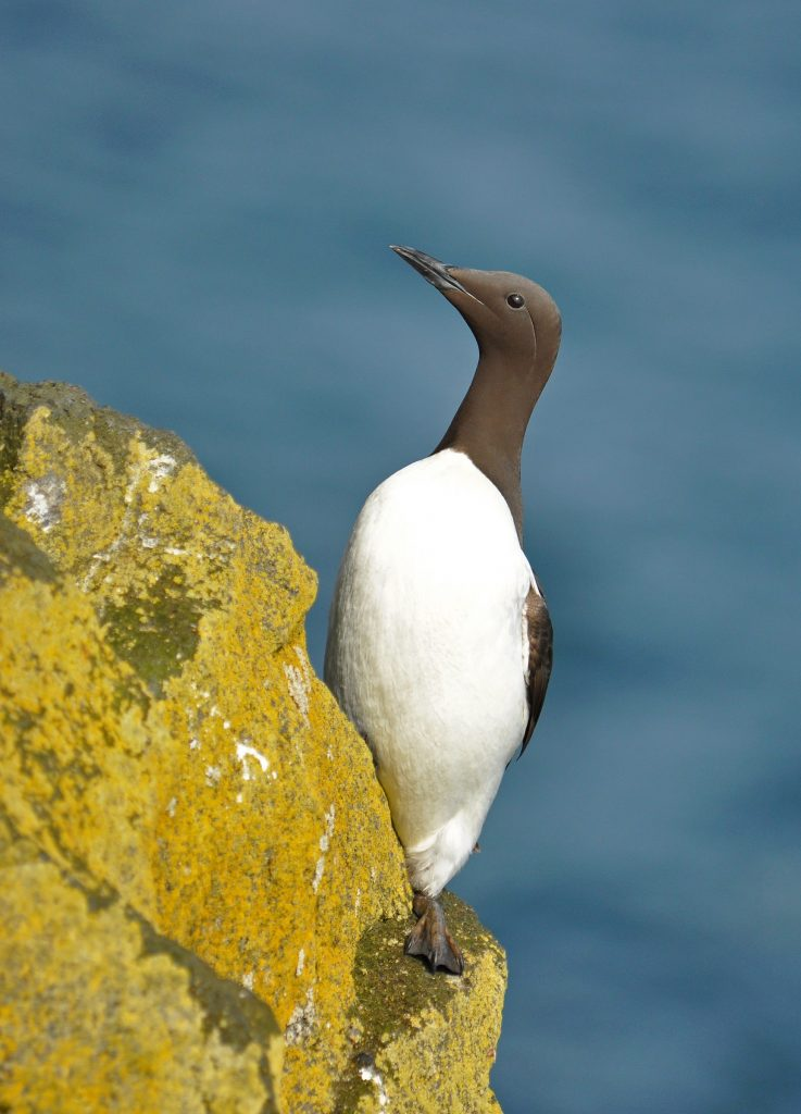 Common Murre by Ryan P. ODonnell 737x1024 - Common Murre