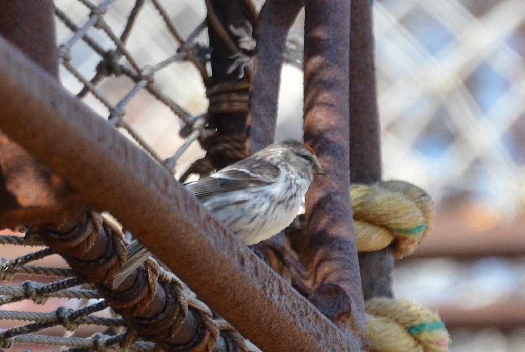 Common Redpoll by Ron Furnish 1024x688 - Common Redpoll