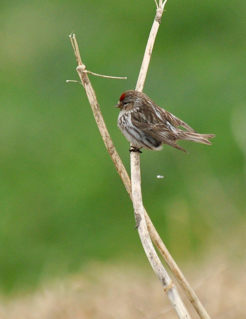 Common Redpoll by Ryan P. ODonnell 788x1024 - Common Redpoll