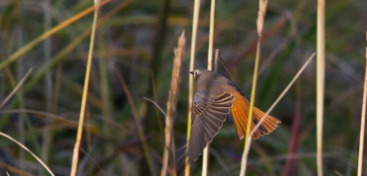 Common Redstart 2 by Doug Gochfeld 1 - Common Redstart