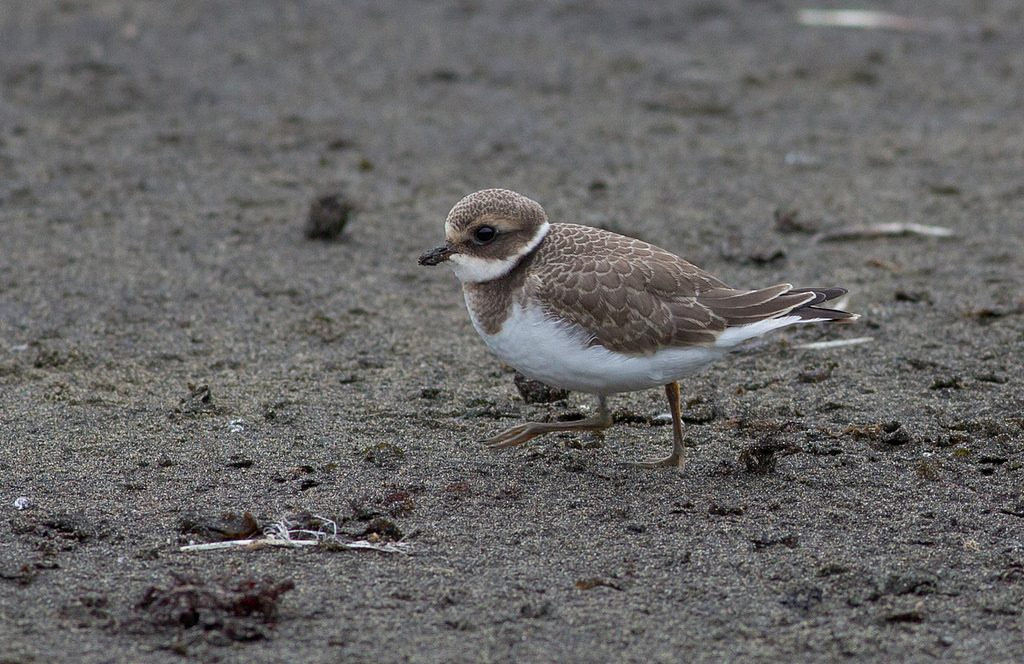 Common Ringed Plover by Doug Gochfeld 1024x664 - Common Ringed Plover
