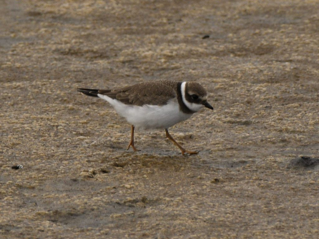 Common Ringed Plover by Kathie ONeil 1024x768 - Common Ringed Plover