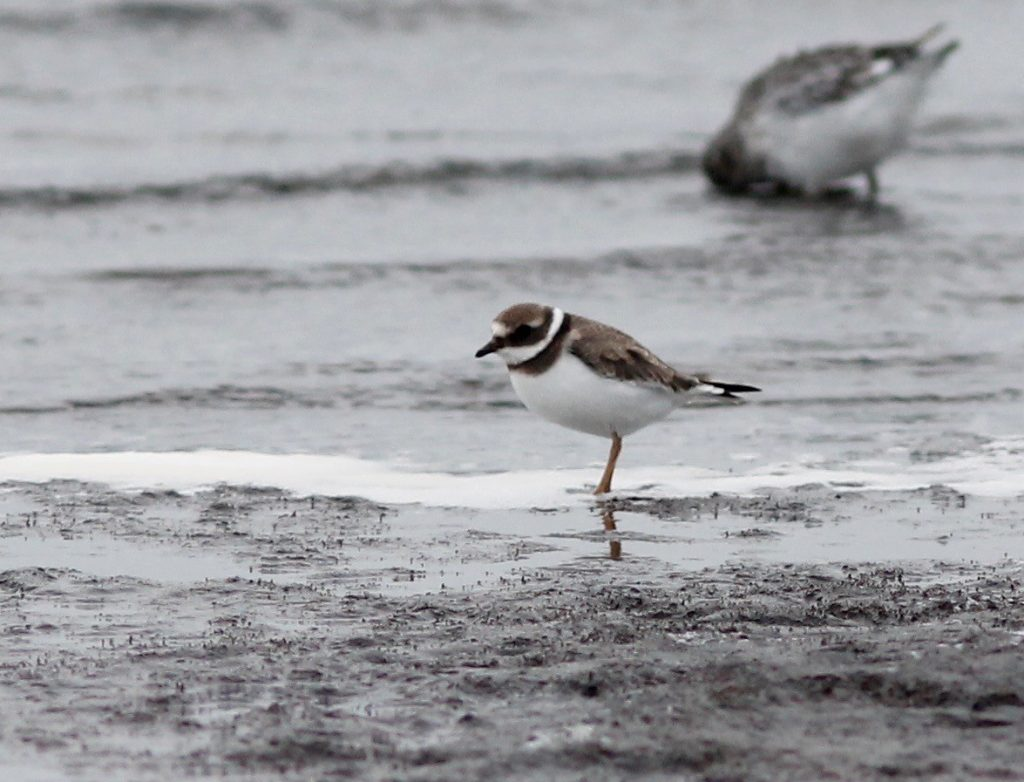 Common Ringed Plover by Stephan Lorenz 1024x782 - Common Ringed Plover