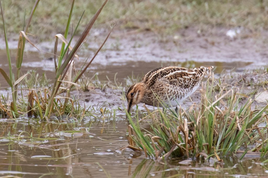 Common Snipe by Sulli Gibson 1024x683 - Common Snipe