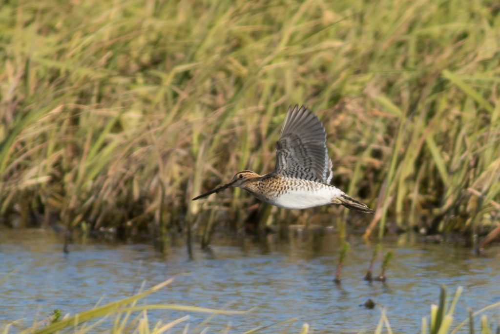 Common Snipe by Tom Johnson 1024x685 - Common Snipe