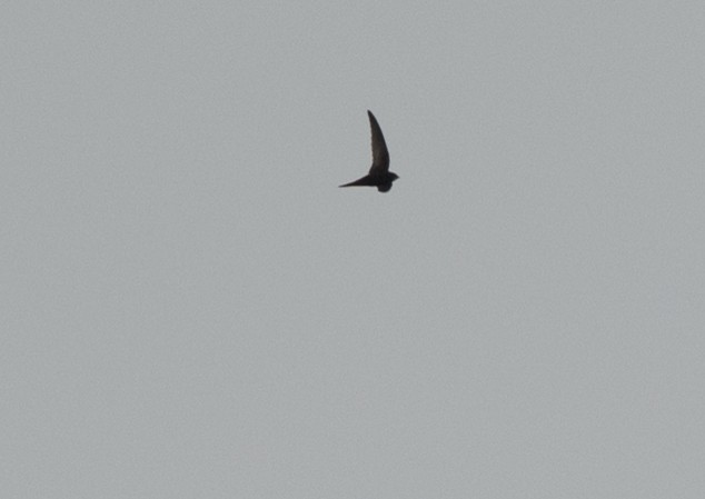 Common Swift 2 by Alison Vilag - Common Swift