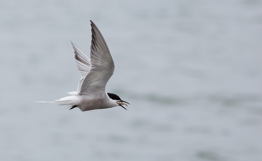 Common Tern 2 by Doug Gochfeld 1024x631 - Common Tern