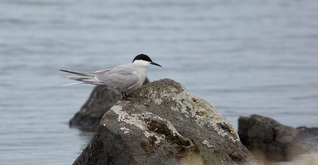 Common Tern by Doug Gochfeld 1024x532 - Common Tern