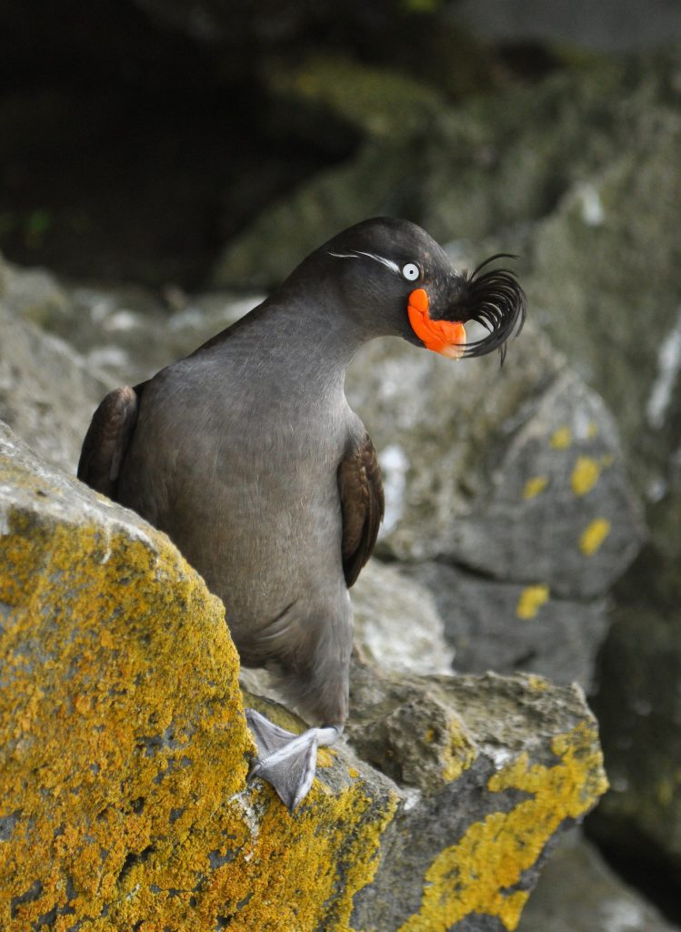Crested Auklet by Ryan P. ODonnell 749x1024 - Crested Auklet