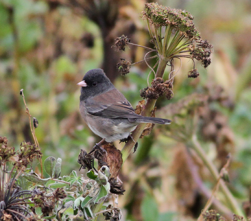 Dark eyed Junco by Doug Gochfeld - Dark-eyed Junco