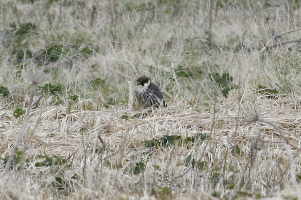 Eurasian Hobby by Phil Chaon 1024x682 - Eurasian Hobby
