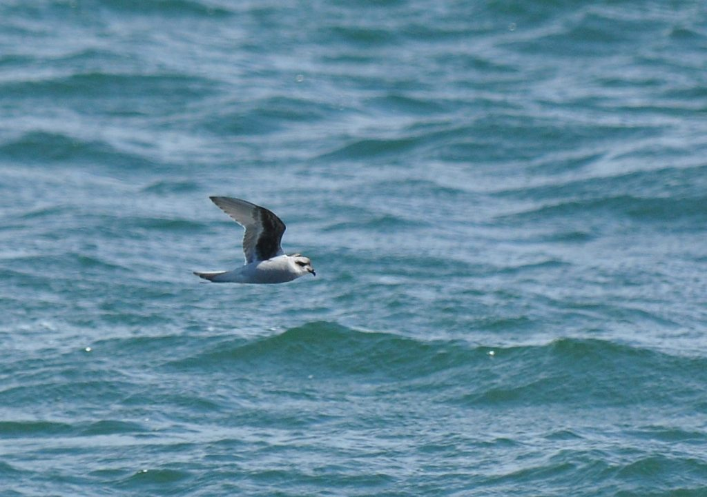Fork tailed Storm Petrel 2 by Ryan P. ODonnell 1024x721 - Fork-tailed Storm-Petrel