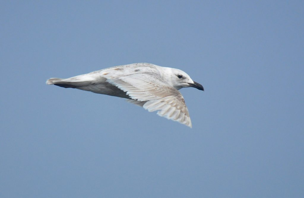 Glaucous winged Gull by Ryan P. ODonnell 1024x668 - Glaucous-winged Gull