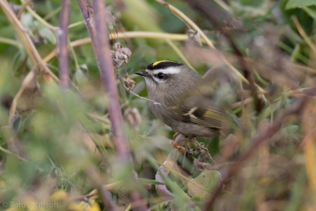 Golden crowned Kinglet by Tom Johnson 1024x683 - Golden-crowned Kinglet