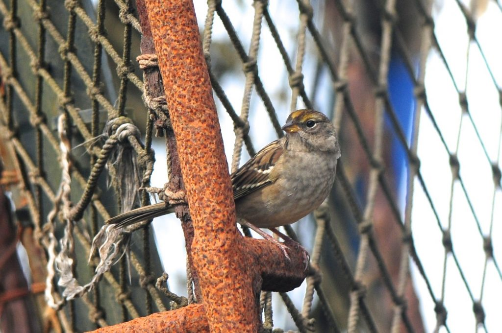 Golden crowned Sparrow by Cory Gregory 1024x680 - Golden-crowned Sparrow