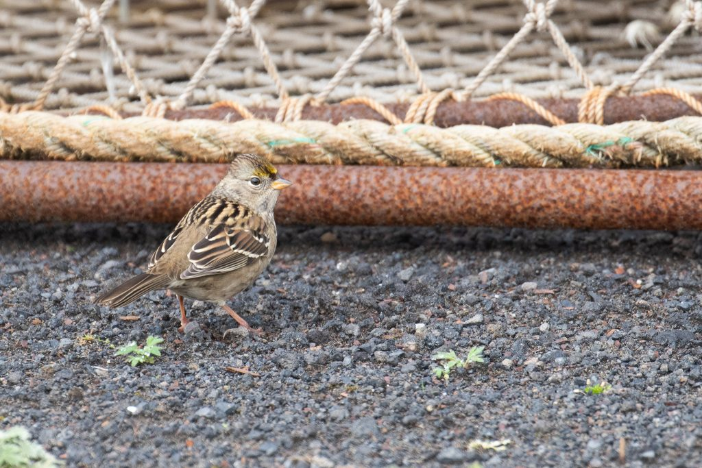 Golden crowned Sparrow by Sulli Gibson 1024x683 - Golden-crowned Sparrow
