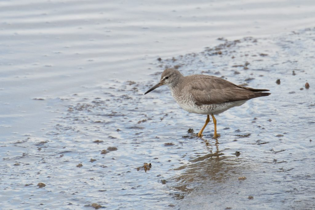 Gray tailed Tattler 2 by Sulli Gibson 1024x683 - Gray-tailed Tattler